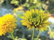 Открытка №11 Золотые цветы